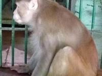 Khỉ nghiện rượu tính tình hung dữ, làm 1 người chết và 250 người bị thương