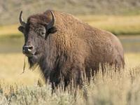 Mon men chụp ảnh cùng bò rừng, du khách lớn tuổi bị húc bay người