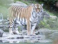 Hổ cắn xé nhân viên vườn thú ngay trước mặt du khách