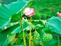 Quảng Nam: Về với mùa sen Trà Lý