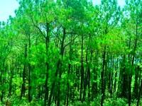 Nét đẹp hoang sơ của rừng thông Bồ Bồ xứ Quảng