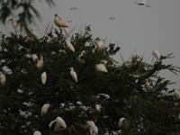Về Tây Đô thăm vườn cò Bằng Lăng