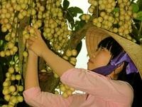 Đặc sản Cần Thơ: Dâu Hạ Châu ngon ngọt hương vị phù sa
