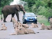 """Ở nơi sư tử và voi """"nhởn nhơ"""" đi lại trên đường"""