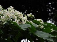 Tháng tư trắng trời hoa trẩu