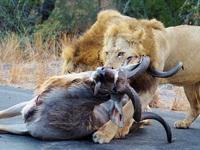 """Du khách """"kinh hãi"""" khi thấy sư tử săn mồi ngay giữa đường"""