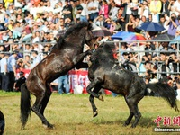 Du khách phấn khích xem những màn đấu ngựa gay cấn