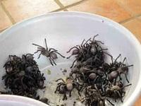 Đi chợ côn trùng, ăn thịt nhện ở xứ chùa Tháp