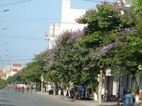 Hoa Bằng lăng nở tím đường phố Đồng Hới