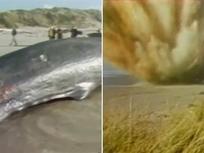 Tiêu hủy cá voi bằng nửa tấn thuốc nổ và cái kết