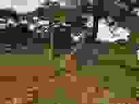 """Tái diễn tình trạng """"bức tử"""" rừng thông tại Gia Lai"""