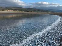 Hàng triệu con cá nhỏ dạt vào bờ biển xứ Wales