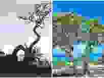 """Cây phong ba """"cô đơn"""" nổi tiếng ở đảo Lý Sơn bị quật gãy sau cơn bão"""