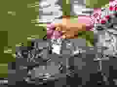 Về Cồn Sơn xem cá lóc… bú bình, ăn cơm phải… đút