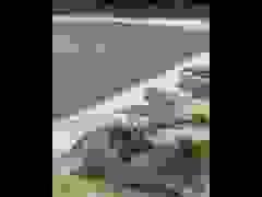 Khoảnh khắc vịt thoát chết trong gang tấc trước bầy cá sấu