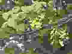Chiêng ngưỡng sắc hoa muồng hoàng yến, đẹp nên thơ một khoảng trời Hà Nội