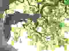 Siêu cây 5 thân khiến đại gia Hà Nội phát sốt, vác 3 tải tiền đến xin mua