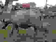 Lão nông loay hoay với đàn trâu trăm con trước lệnh cấm