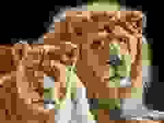 Không có con chung nhưng cặp sư tử vẫn đồng hành và chết cùng ngày với nhau