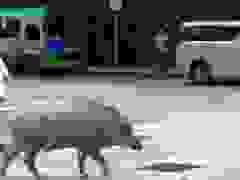 Lợn rừng bình thản đi dạo giữa phố đông người
