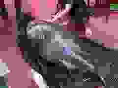 Cá song vang hiếm có, giá đắt đỏ