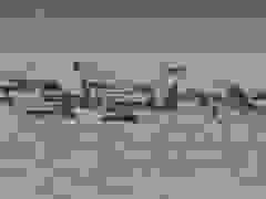 270 con cá voi hoa tiêu mắc cạn tại Australia
