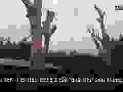 """Phú Yên: Tịch thu, trồng 2 cây """"quái thú"""" siêu khủng"""