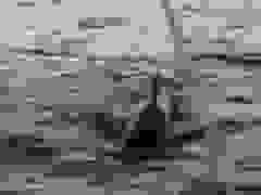 Cá voi sát thủ tấn công thuyền của khách du lịch