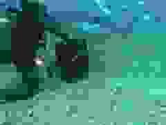 """""""Đứng tim"""" nhìn cảnh thợ lặn tay không đút thức ăn cho cá mập"""