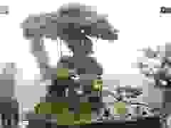 Lộ diện cây si Thạch Sanh, rễ quấn từng tầng khiến đại gia mê mẩn