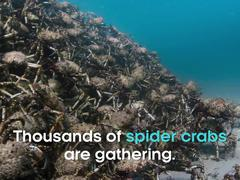 """""""Rợn người"""" xem cảnh hàng nghìn con cua nhện tụ tập dưới đáy biển chống kẻ"""