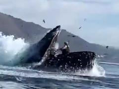 Thót tim cảnh cá voi lưng gù suýt nuốt chửng hai phụ nữ trên thuyền kayak