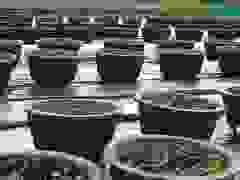 Người trồng hoa Hội An chia sẻ về ảnh hưởng của dịch Covid-19