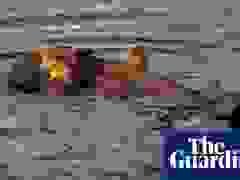 Cảnh tượng khó tin: Rái cá cố ăn thịt cá mập