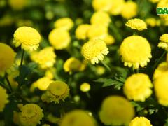 """Hoa cúc """"tiến vua"""" Hưng Yên vào mùa vàng rực"""