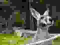 Chuột túi kangaroo - biểu tượng đặc biệt của Australia