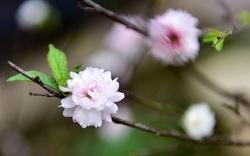 Ngắm vườn nhị độ mai ở giữa thủ phủ đào Nhật Tân