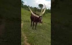 Chú bò có 3 chiếc sừng dài trên đầu