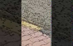 Đàn châu chấu xâm chiếm đường phố Oman
