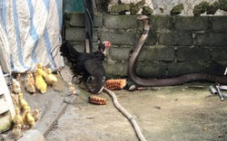 Khoảnh khắc gà mẹ chiến đấu với rắn hổ mang để bảo vệ con