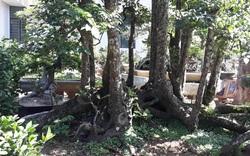 Cận cảnh cây khế 19 thân quý hiếm