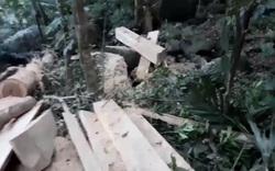 Những gỗ dổi lớn bị xẻ thịt ngay tại rừng xanh