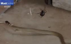Hiếm hoi cảnh rắn vẫy vùng không thoát khỏi lưới nhện