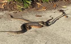 Con rắn tham ăn chén luôn đồng loại vừa nuốt một con ếch