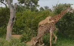 Hươu cao cổ thoát cuộc tấn công của bầy sư tử nhờ quyết tâm không gục ngã