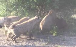 Sư tử đơn độc bị bầy linh cẩu bao vây, cướp mất con mồi