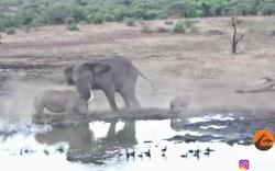 Xâm phạm lãnh thổ, mẹ con tê giác bị voi tấn công dữ dội