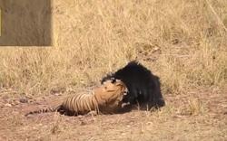 Gấu mẹ liều mình chống trả hổ dữ để bảo vệ con