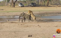Đi lạc đàn, voi non đơn độc bị sư tử đực hạ gục