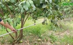 """Cắt quả non để """"giữ sức"""" cho cây bưởi đặc sản"""